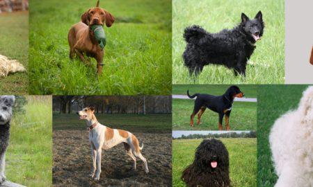 magyar kutyafajtak